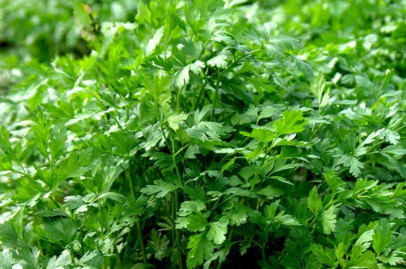 Петрушка — уникальное растение, которое омолаживает организм не только изнутри, но и снаружи