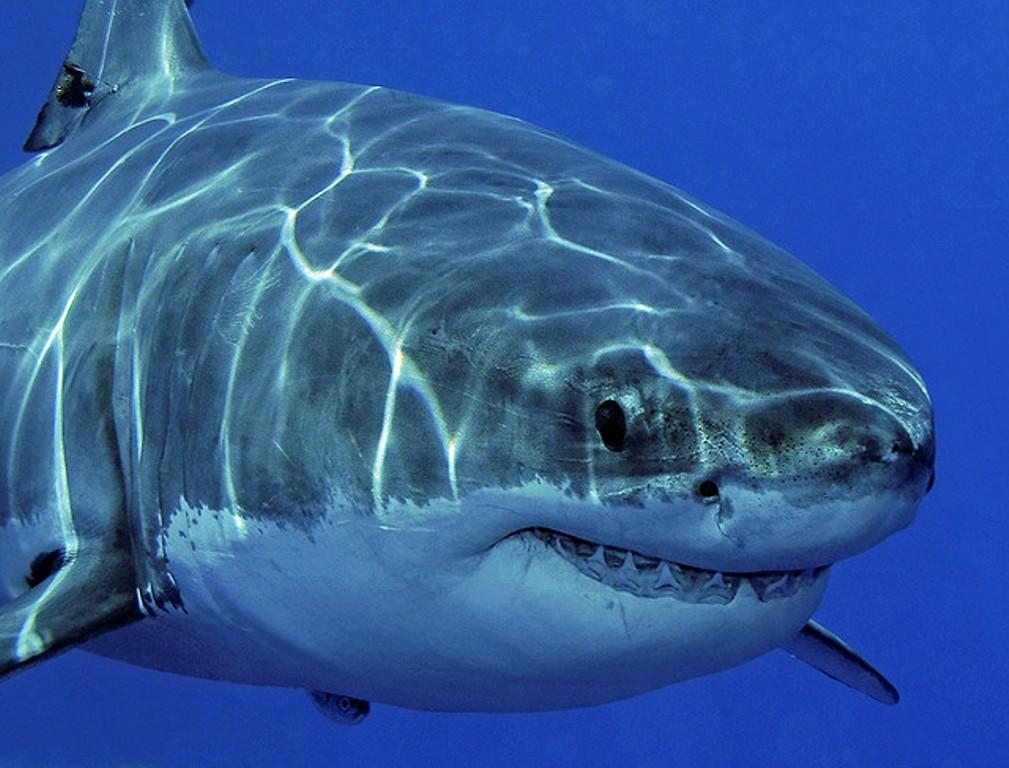 Акулий жир является одним из удивительных по составу и наиболее полезных для человеческого организма веществ