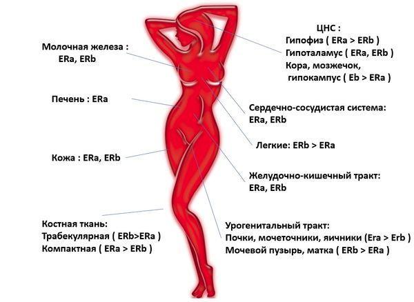 гормон Эстроген